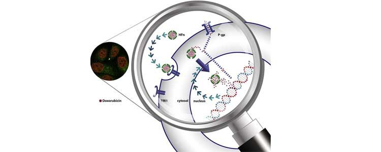 ENGINEERING TARGETING MOLECULES FOR NANOPARTICLE BIOCONJUGATION